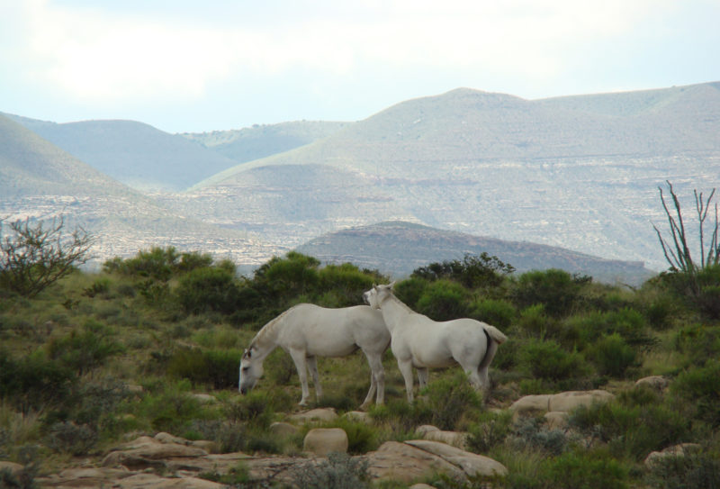 white horses with mountains in distance